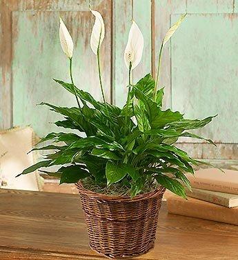 Spathiphyllum Plant for Sympathy