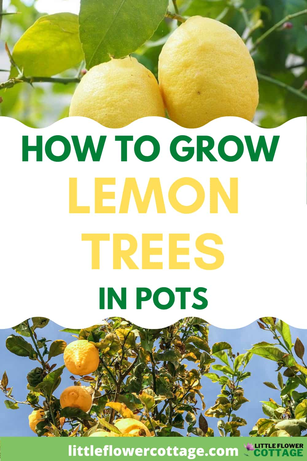 how to grow lemon trees in pots Pinterest small